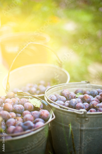 three buckets of plums in a garden