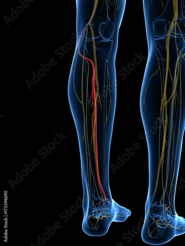 3d rendered medically accurate illustration of the Deep Peroneal Nerve