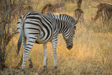 Zebra grazing with herd of impalas, South Africa - 175600293
