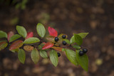 Beautiful colorful branch of shiny cotoneaster - 175601618