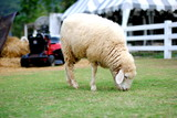 Sheep eating animals grass in Thailand farm. - 175605436