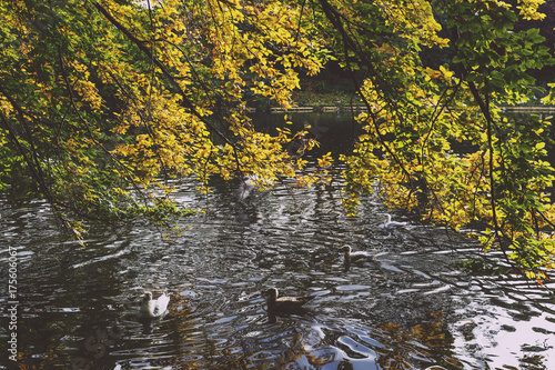 pond with ducks and yellow leaves of tree branches, autumn at the park Poster