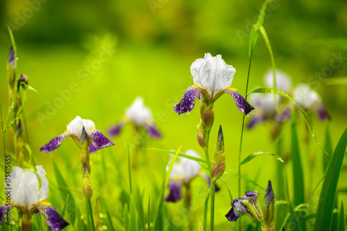 Fotobehang Iris iris flowers