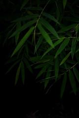 Dark bamboo leaves for background