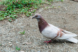 голубь - 175626217