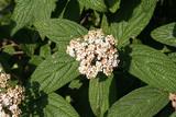 Viburnum rhytidophyllum. Cespuglio dai fiori bianchi - 175626468