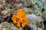 Orange sponge in the reef background while divinig Indonesia - 175627807
