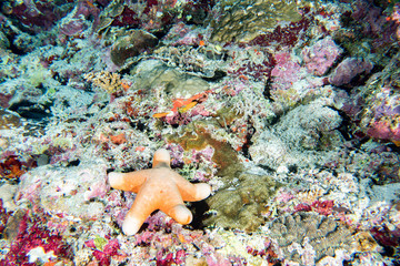 Red sea star hanging on reef in Papua Indonesia