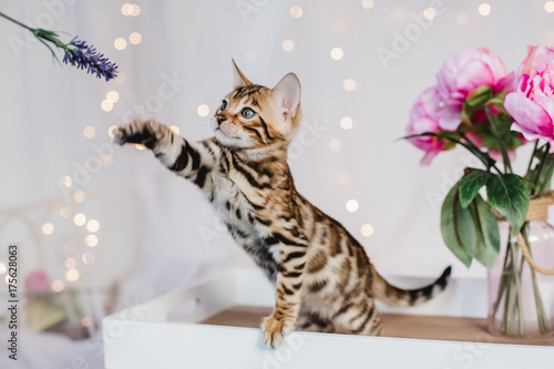 bengal cats babys leopard kitten Poster