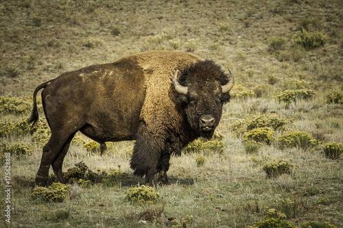 Fotobehang Bison Colorado Bison