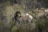 Colorado Big Horn Sheep - 175629058