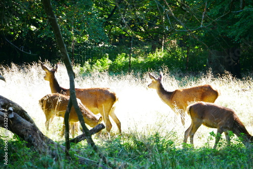 Aluminium Hert Deers Looking Away in the Forrest