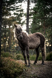 Nordland Horse from Norway - 175633843