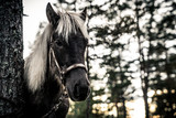 Nordland Horse from Norway - 175634497