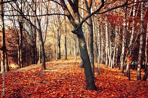 Papiers peints Orange eclat Scenic autumn nature landscape. Birch woodland in fall.