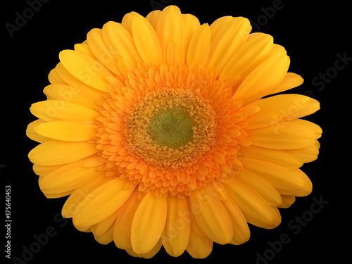 Aluminium Gerbera background, gerbera, black, flower, isolated, nature, floral, beautiful, daisy, summer, closeup, beauty, bright, macro, flora, red, blooming, gift, spring, fresh, pretty, colorful, orange, plant, yell