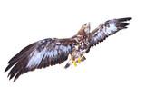 Golden Eagle flying. Bird of prey on white background. Wildlife theme. - 175641032