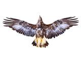 Golden Eagle flying. Bird of prey on white background. Wildlife theme. - 175641042