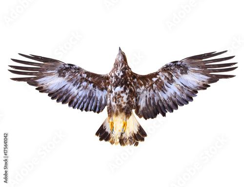 Golden Eagle flying. Bird of prey on white background. Wildlife theme. © Kletr