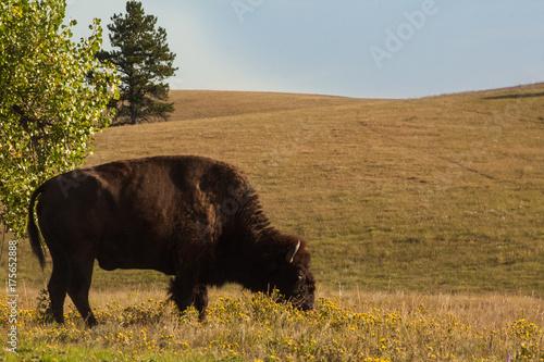 Fotobehang Bison buffalo at bottom of hill