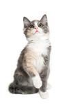 Playful Calico Kitten on White