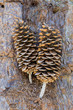 Large Pine Cones Sitting on Bark