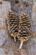 Large Pine Cones Sitting on Bark