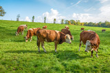 Cows in a pasture. Cows grazing on a green meadow in rural Bavaria, Germany - 175659018