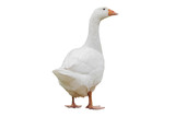 Goose isolated - 175661414