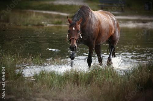 Pferd schreitet aus dem See Plakát