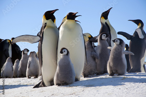 Foto Spatwand Antarctica Emperor penguin chick. Close-up. Antarctic