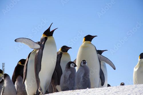 Foto Murales Emperor penguin chick. Close-up. Antarctic