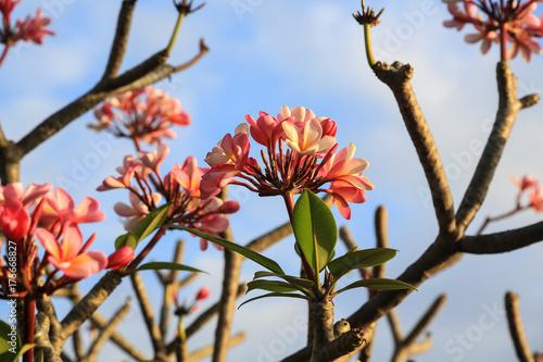 Fotobehang Plumeria Bali: Frangipani Blüten am Baum