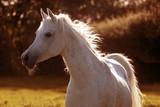 Araber Pferd im Sonnenlicht - 175671280