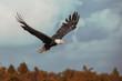 Weißkopfseeadler  When the Eagle fly