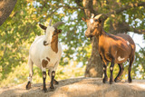 Goats with brown and white mantle on the rock - 175695602