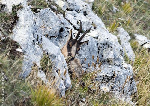 Camoscio d'Abruzzo - Parco Nazionale d'Abruzzo