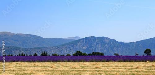 Tuinposter Lavendel pré et culture du lavandin dans le Lubéron