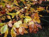 Colored beech leaf, (Fagus sylvatica), Autumn-colors, - 175704023