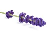 Lavender flower - 175704489