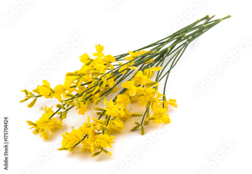 Yellow broom flowers buy photos ap images detailview yellow broom flowers mightylinksfo