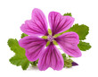Quadro Mallow plant with flower