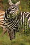 Zebra beim Fressen - 175712603