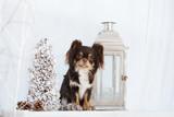 brown chihuahua dog posing indoors - 175717064