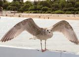 Seagull wingspan