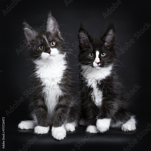 Two Maine coon cat kittens sitting together isolated on black background Poster