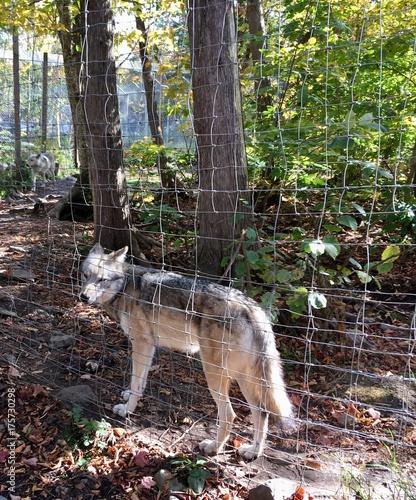 Fotobehang Wolf loup