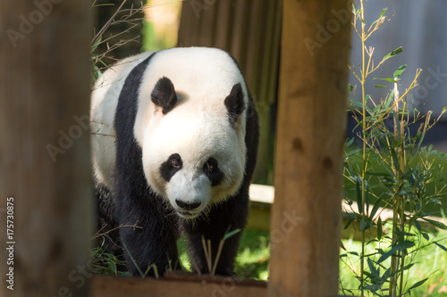Fotobehang Panda Giant Panda Bear