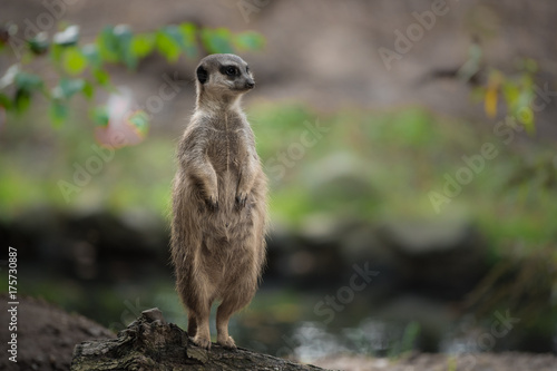Meerkat standing up Poster
