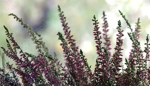 Fotobehang Lavendel wrzos